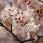 Sakura in Misato and Mizumoto