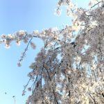 Sakura in Kinshi Park