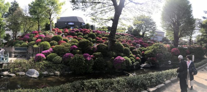 Azalea in Nezu Shrine