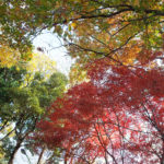 Autumn Leaves in Kawasaki