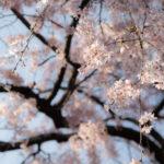 Sakura in Yanaka