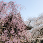 Sakura in Komagome and Imperial Palace