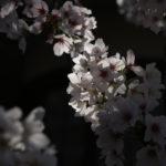Sakura in Koishikawa Botanical Garden